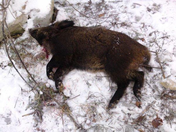 battue au sanglier a vaic me foxe
