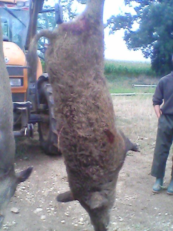sanglier de 110kg