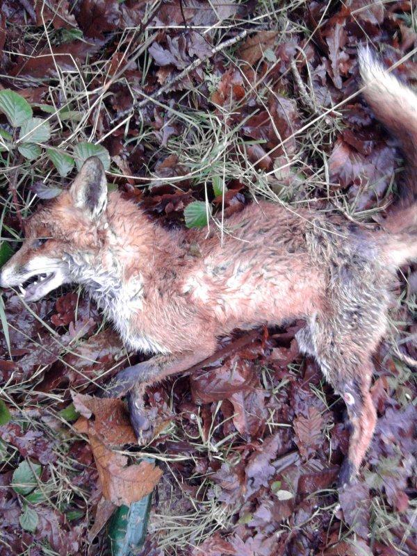 battu au au chevreuil et renard