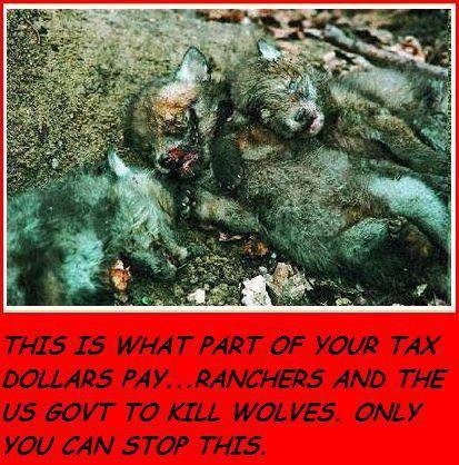 s'il vous plait ne laissez pas trucider les loups  ne  laissez pas finir  !!!!!!!!!