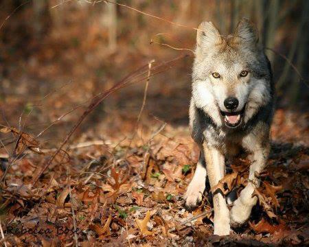 Union pour la Protection des Animaux Sauvages  France. 179 accidents, dont 21 mortels, durant la saison de chasse 2012-2013 .