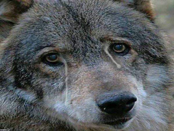 un loup ca pleure aussi !!!!!!!!!!!! bonne soirée - la