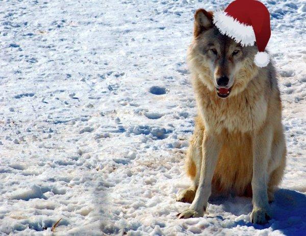 joyeux no l au peuple loups merry christmas to people. Black Bedroom Furniture Sets. Home Design Ideas