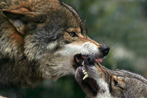 Le Sénat déclare la guerre au loup : chers élus EELV, vous avez voté une belle idiotie    :(