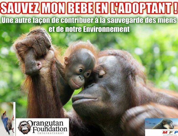 """UNE AUTRE FAÇON DE CONTRIBUER À LA SAUVEGARDE des Orangs-Outans et de leur Environnement: DEVENIR PARENT D'ACCUEIL POUR """" UTTUH """" (jeune femelle Orang-Outan) !"""