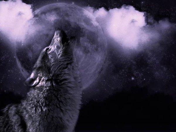 Le hurlement du loup reflète son caractère social