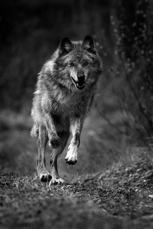 aujourd'hui parlons Amérindien toujours lié au loup rien ne les dissociera peut être une même quête même souffrance à cause de l'homme blanc  : LES 4 ELEMENTS et   La Roue de Médecine Amérindienne