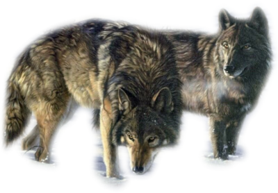 Étude du relâcher de loups (Canis lupus lupus) en Russie : méthodes d'élevage, modélisation d'habitat, dispersion et survie