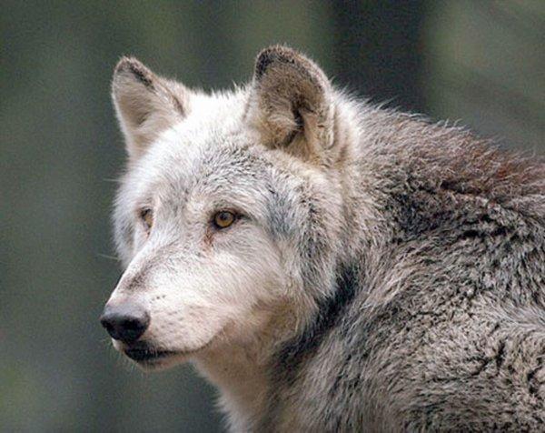 Un loup plus sage…   IMPORTANT je vous dis ce que j'en pense personnellement  à la fin de l'info