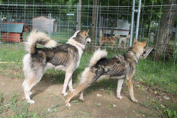 Chasseur, pro-trappeurs, Nicolas Vanier n'a jamais été l'ami des loups, ni même de ses propres chiens !