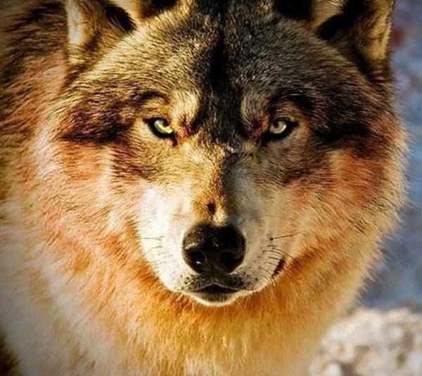 La mortalité des loups peut être due à de nombreux facteurs :