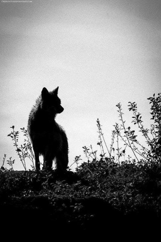 Attaque de loup envers l'homme : fait ou fiction?