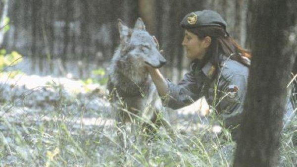 Ce soir je vous met une très belle histoire vraie une histoire magnifique qui en dit long sur la compassion envers le loup que nous devrions tous avoir