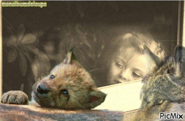 Comportement du loup avec sa proie