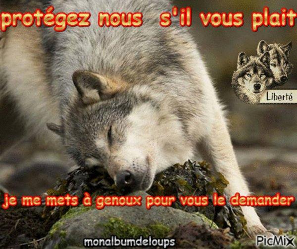 La mort frappe de nouveau le loup !! 2 loups en une semaine abattus dans les alpes de haute provence ma rage monte là !!!!!!!!!!