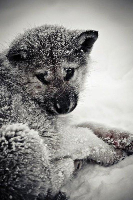 Loups des villes,     loups des champs      Malgré les siècles, la peur du loup reste toujours présente. Pourtant, aujourd'hui, c'est lui qui risque de disparaître en dépit de l'effort de nos justes