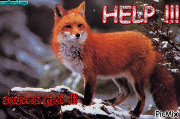 Protégeons les renards !