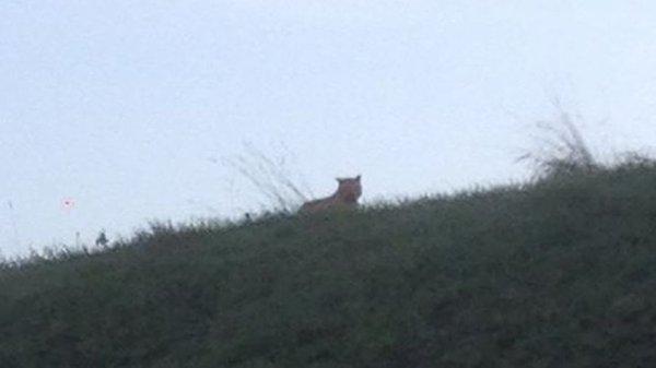 Alerte info : un tigre en liberté recherché en Seine-et-Marne