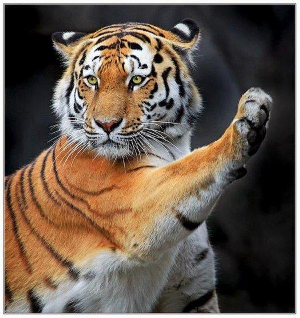 où le tigre se cache-t-il ? Vendredi 14 Novembre 2014 : 08h36 SeinSeine-et-Marne  signez la pétition ce qui prouve encore une fois que les cirques avec animaux et  un réel danger pour l'animal aussi bien que pour vous !!!!!!!!!!!!