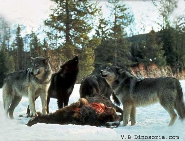 Tactiques de chasse et Proies des loups  Ils sélectionnent leurs proies en choisissant des animaux malades, affaiblis, blessés, dénutris...
