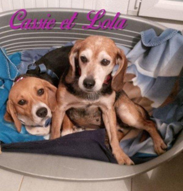 Cassie et Lola, 2 beagles traumatisées, devaient mourir d'une balle dans la tête  allez cliquez 5 fois par jours complétement gratuit  pour les soutenir merci