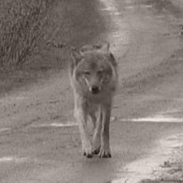 VIDEO. Premières images du Dernier loup, prochain film de Jean-Jacques Annaud  La bande-annonce est attendue le 8 décembre et le film sortira sur les écrans français le 25 février 2015.