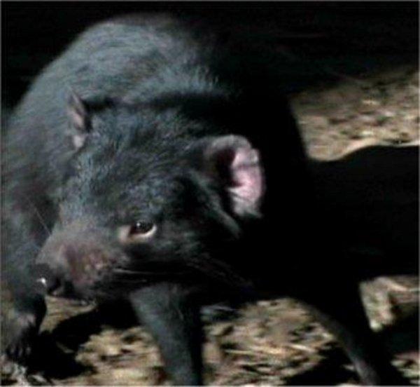aujourd'hui parlons d'un animal étrange et très peu connu qui mérite d'en savoir un peu plus sur lui de plus que personnellement je le trouve hyper mignon !!!  : Le diable de Tasmanie