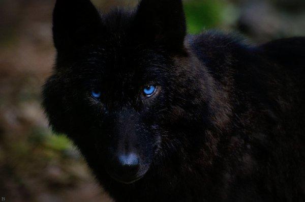 très instructif à savoir !!  :  D'où vient la couleur noire de certains loups ?
