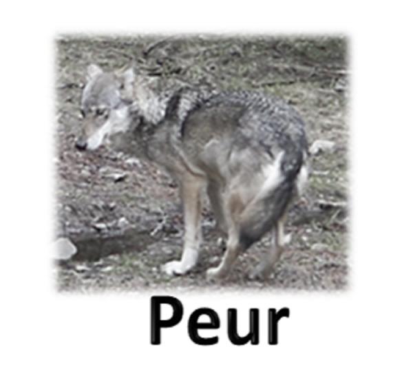 comportement corporel du loup