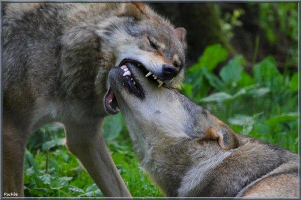 et  oui  spéciale st valentin des loups !!!  l'amour et la fidélité du loup en voilà le thème