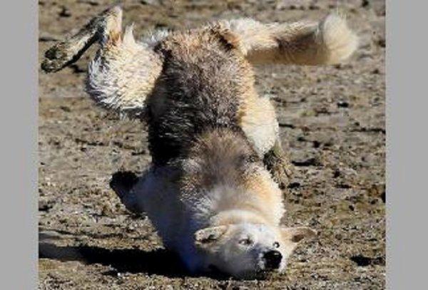 Loup : chaque odeur porte un message