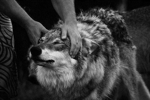 Les loups comme animaux domestiques