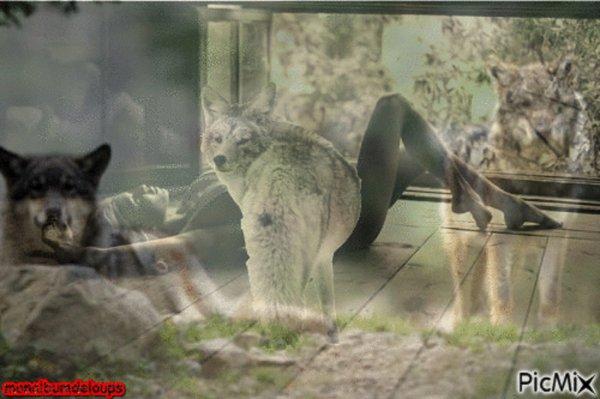 Incroyable nouvelle pour la journée nationale du chiot : Le loup gris est officiellement une espèce protégée à nouveau ! pourvu que la France suive dans la même idéologie !!!