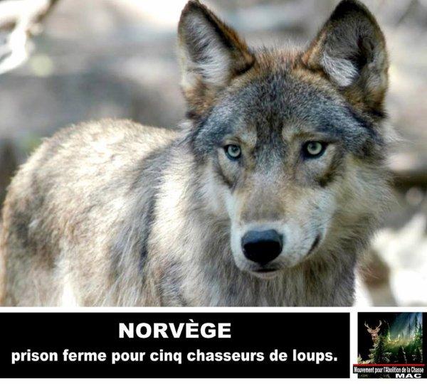 «Ce jugement est historique» Norvège: prison ferme pour cinq chasseurs de loups.