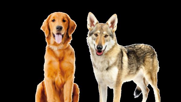 Le Loup, le chien et l'homme…