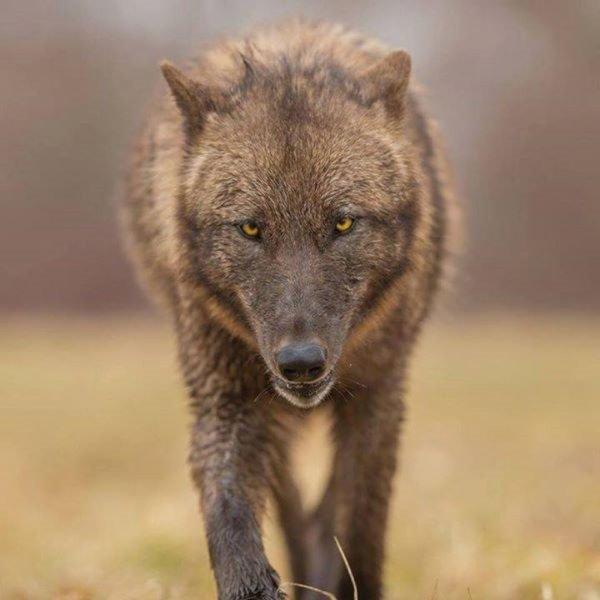 Toute société qui prétend assurer aux Loups la liberté et la protection, doit commencer par leur garantir l'existence. CE QUI NE SE FAIT PAS LOIN DE LA !!!!