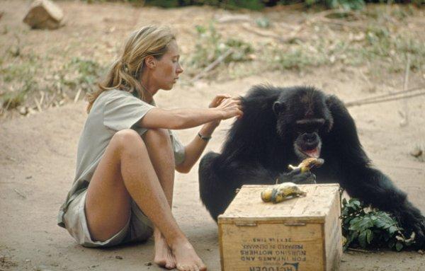 un hommage à une grande dame que j'admire  Jane Goodall qui a consacré sa vie aux primates  l'actu date de 1 mois environ  mais je publie pour ceux qui ne l'aurait pas eu