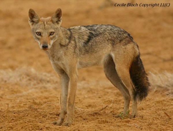 Le Loup et le Chacal :  « Redécouverte » du loup africain Canis lupus lupaster : une répartition africaine de plus de 6 000 km