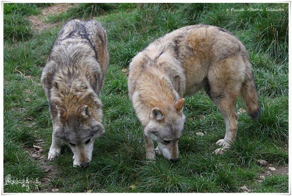 Un loup est moins agressif qu'un chien ???? ...