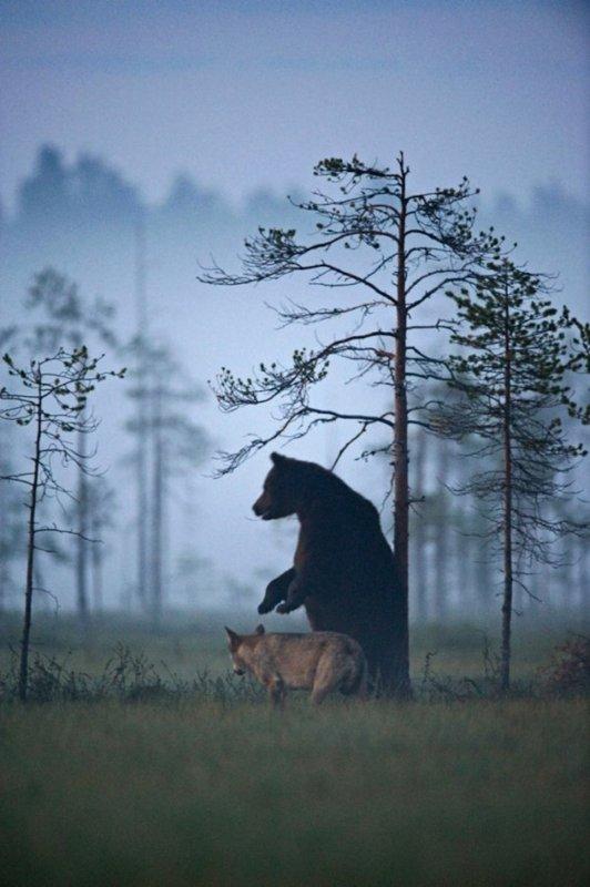 Une amitié incroyable entre un loup et un ours révélée par un photographe