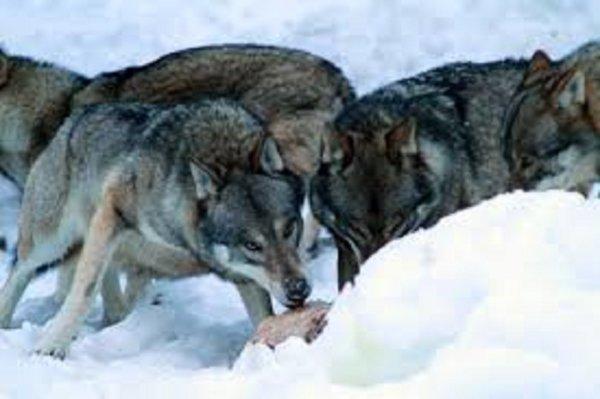 Comment le loup résiste au froid l'hiver    Se nourrir, une préoccupation constante  Il faut trouver de quoi manger, même sous la neige.