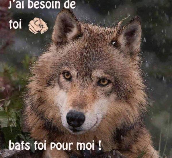 les sens du loup comme tous les animaux, le loup est doté de sens bien développés...