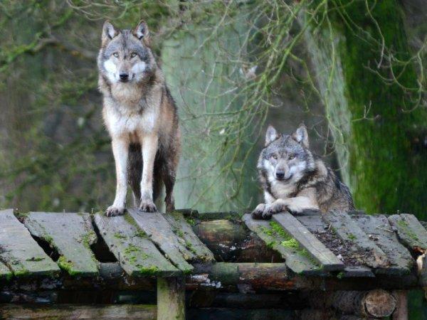 Les tactiques de chasses des loups :