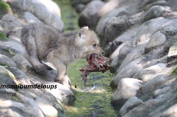évaluez vos connaissances sur le loup et son anatomie  voici plusieurs questions :