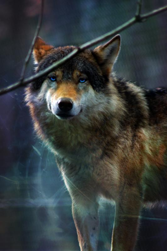 pourquoi le loup est utile à notre biodiversité :