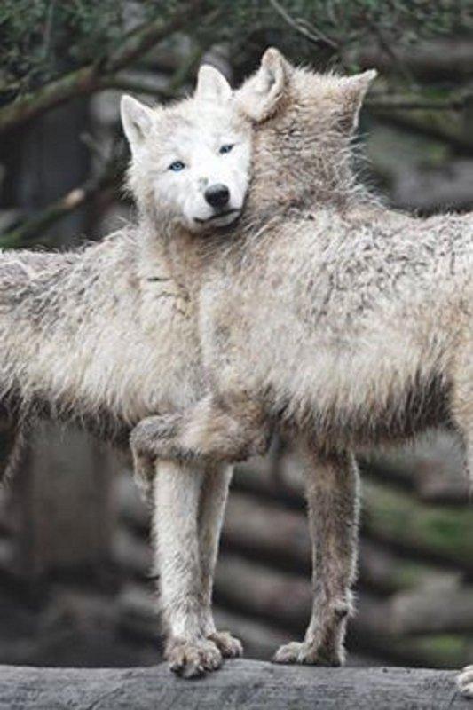 JOYEUX NOEL    Un de mes deux voeux serait que l'on arrête de massacrer les loups  désolée je n'ai pas trouvé la vidéo sur you tube  je vous mets celle de fb