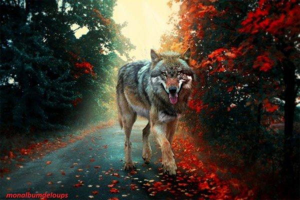 reconnaitre un loup d'un chien ou chien loup