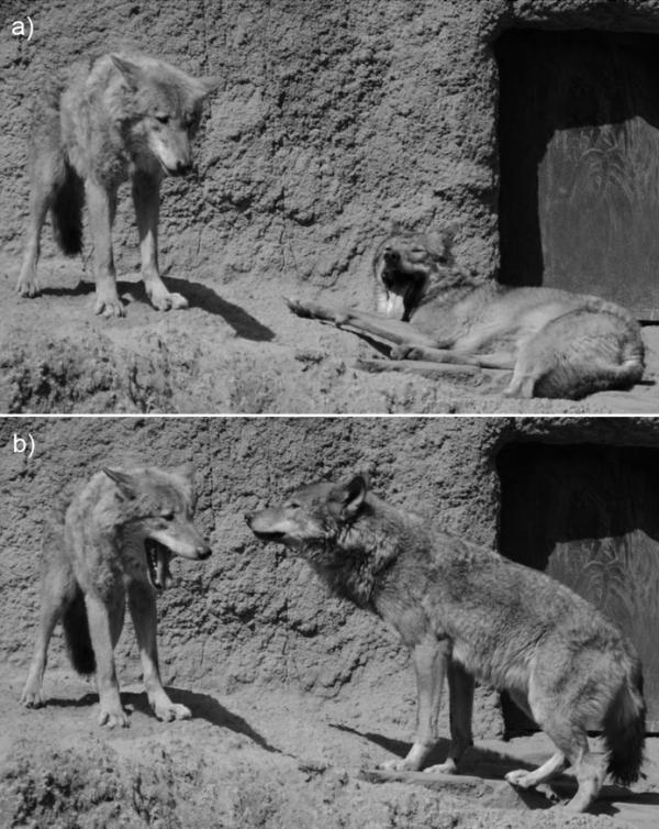 Les bâillements des loups sont contagieux du loup on en a beaucoup à apprendre !!!