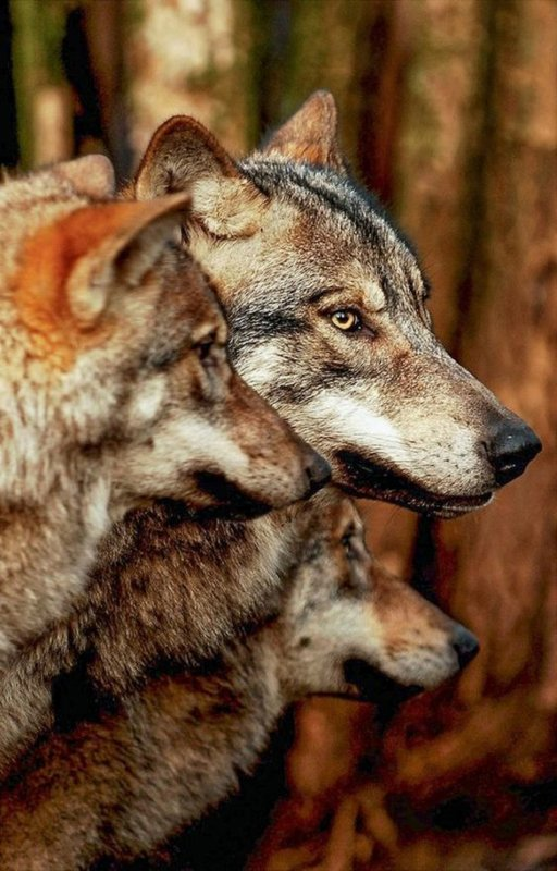 Loup rouge (Canis rufus)