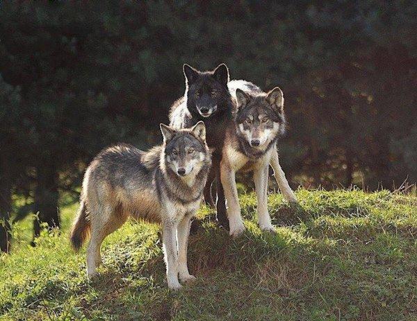 Six loups s'échappent du parc scientifique du Gévaudan  le 08 . 03 . 2016